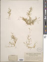 Stellaria friesiana Ser.