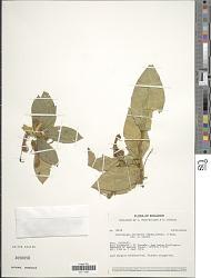 Centropogon erianthus