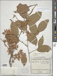 Ruprechtia ramiflora (Jacq.) C.A. Mey.