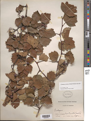 Crataegus pruinosa s.l. (J.C. Wendl.) K. Koch s.l.