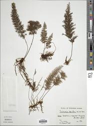 Abrodictyum asae-grayi (Bosch) Ebihara & K. Iwats.