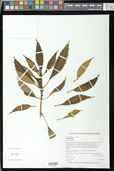 Cyrtandra biserrata H. St. John