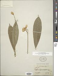 Toxosiphon macropodus (K. Krause) Kallunki