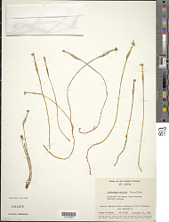 Voyria aphylla (Jacq.) Pers.