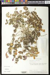 Aeschynanthus 'New Guinea'