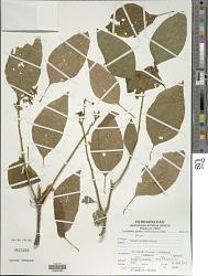 Lycianthes jelskii (Zahlbr.) Bitter