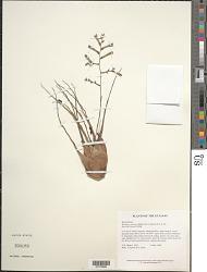 Racinaea jenmanii (Baker) M.A. Spencer & L.B. Sm.