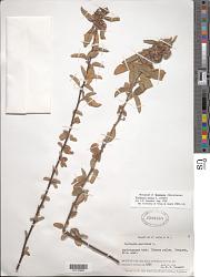 Waltheria indica L.