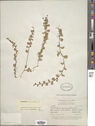 Evolvulus nummularius (L.) L.