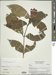 Ruellia chartacea (T. Anderson) Wassh.