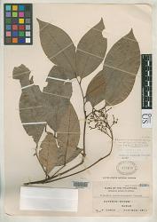 Glycosmis cyanocarpa var. phillippinensis B.C. Stone