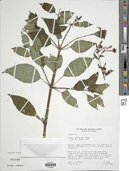 Fuchsia pallescens Diels