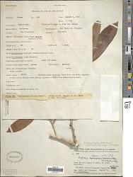 Pouteria elegans (A. DC.) Baehni