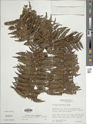 Cyathea caracasana (Klotzsch) Domin var. caracasana
