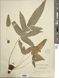 Phlebodium aureum (L.) J. Sm.