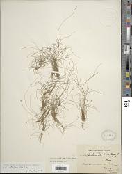 Eleocharis retroflexa (Poir.) Urb.