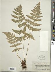 Dryopteris intermedia (Muhl.) A. Gray