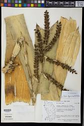 Wittmackia lingulata (L.) Mez