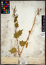 Chenopodium gigantospermum Aellen