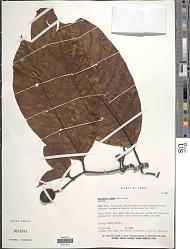 Neolamarckia cadamba (Roxb.) Bosser
