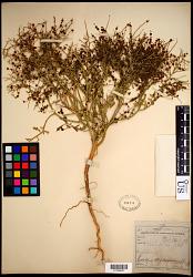 Cycloloma atriplicifolium (Spreng.) J.M. Coult.