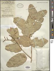 Corymbia ferruginea (Schauer) K.D. Hill & L.A.S. Johnson
