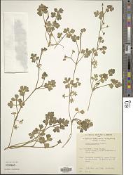 Apium prostratum Labill. ex Vent.