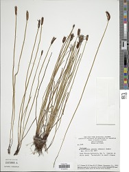 Actinostachys pennula (Sw.) Hook.