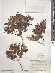 Weinmannia pinnata L.