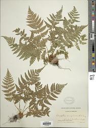 Dryopteris marginalis (L.) A. Gray