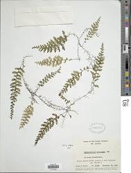 Hymenophyllum ectocarpon Fée