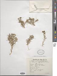 Stellaria cryptopetala Griseb.