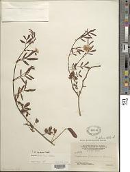 Neptunia plena (L.) Benth.