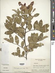 Zanthoxylum punctatum Vahl