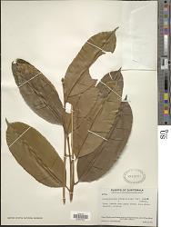 Calophyllum brasiliense Cambess.