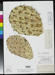 Opuntia canada Griffiths