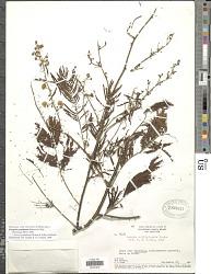 Senegalia podadenia Britton & Killip