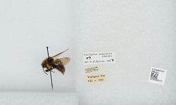 Bombus (Psithyrus) insularis