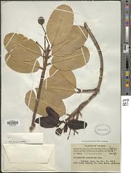 Calophyllum inophyllum L.