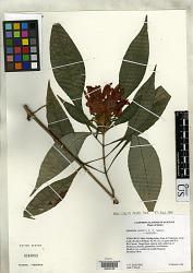 Aphelandra wendtii T.F. Daniel