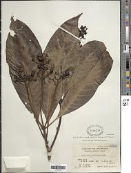 Psychotria alabatensis Sohmer & A.P. Davis