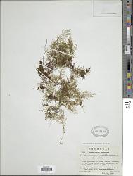 Polyphlebium capillaceum (L.) Ebihara & Dubuisson