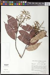 Licania parviflora Benth.