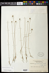 Actinocephalus geniculatus (Bong.) F.N. Costa