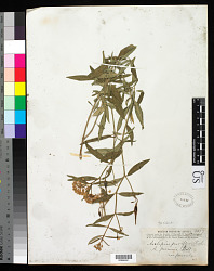 Asclepias texana A. Heller