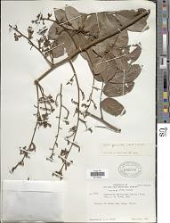 Machaerium quinatum (Aubl.) Sandwith var. quinatum