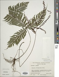 Adiantum tetraphyllum Humb. & Bonpl. ex Willd.
