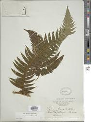 Cyathea horrida (L.) Sm.