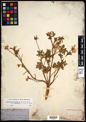 Callirhoe involucrata var. lineariloba (Torr. & A. Gray) A. Gray ex S. Watson