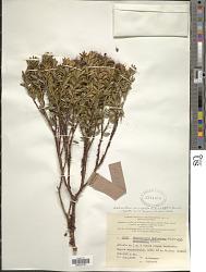 Metrosideros microphylla (Schltr.) J.W. Dawson